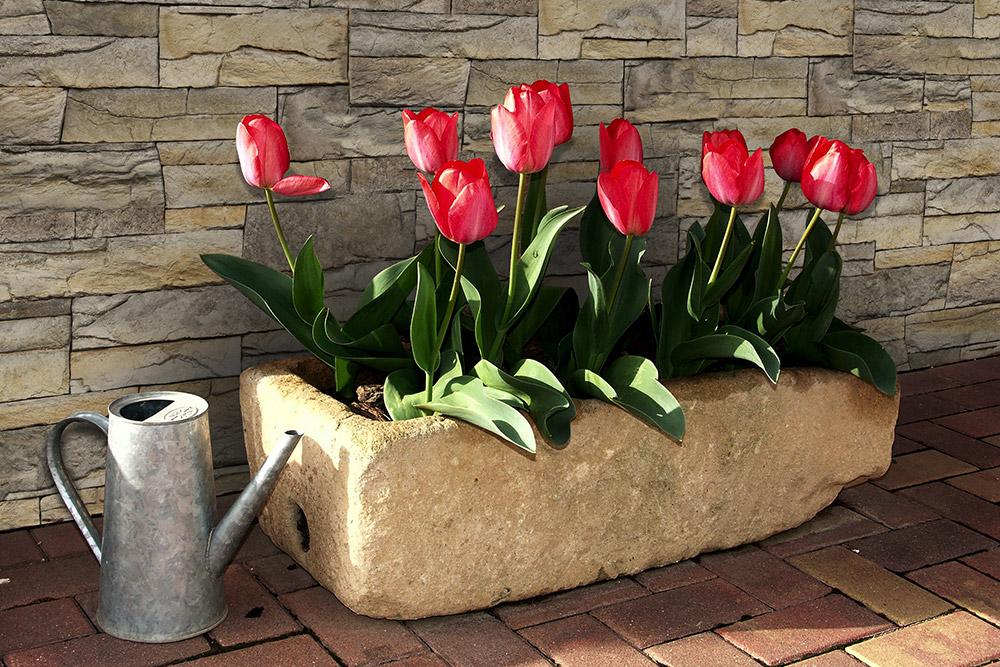 Gepflasterter Hof mit Tulpen und Wandverkleidung von Vivid Beige